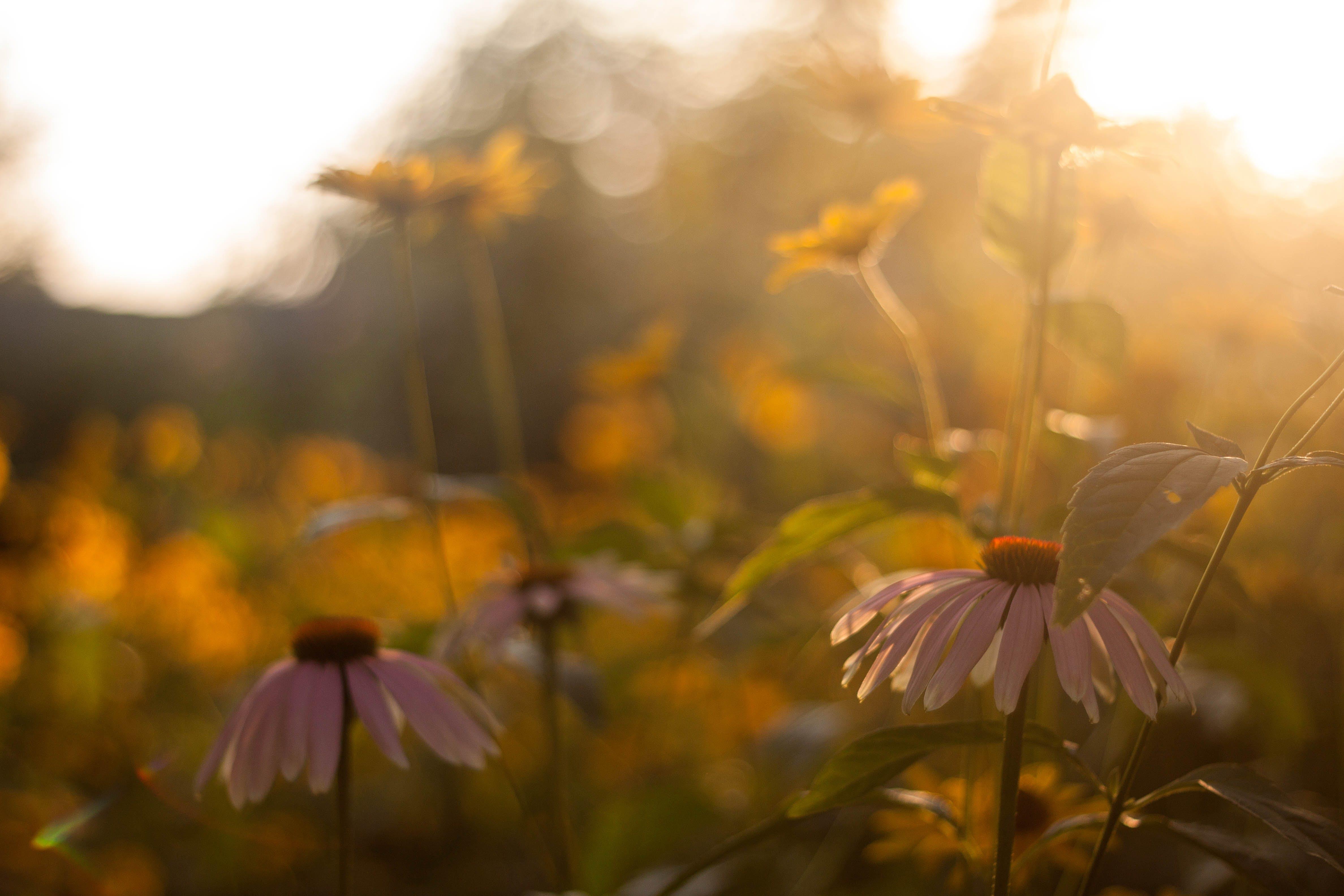 Darmowe zdjęcie z galerii z flora, kwiat, kwiaty, ogród