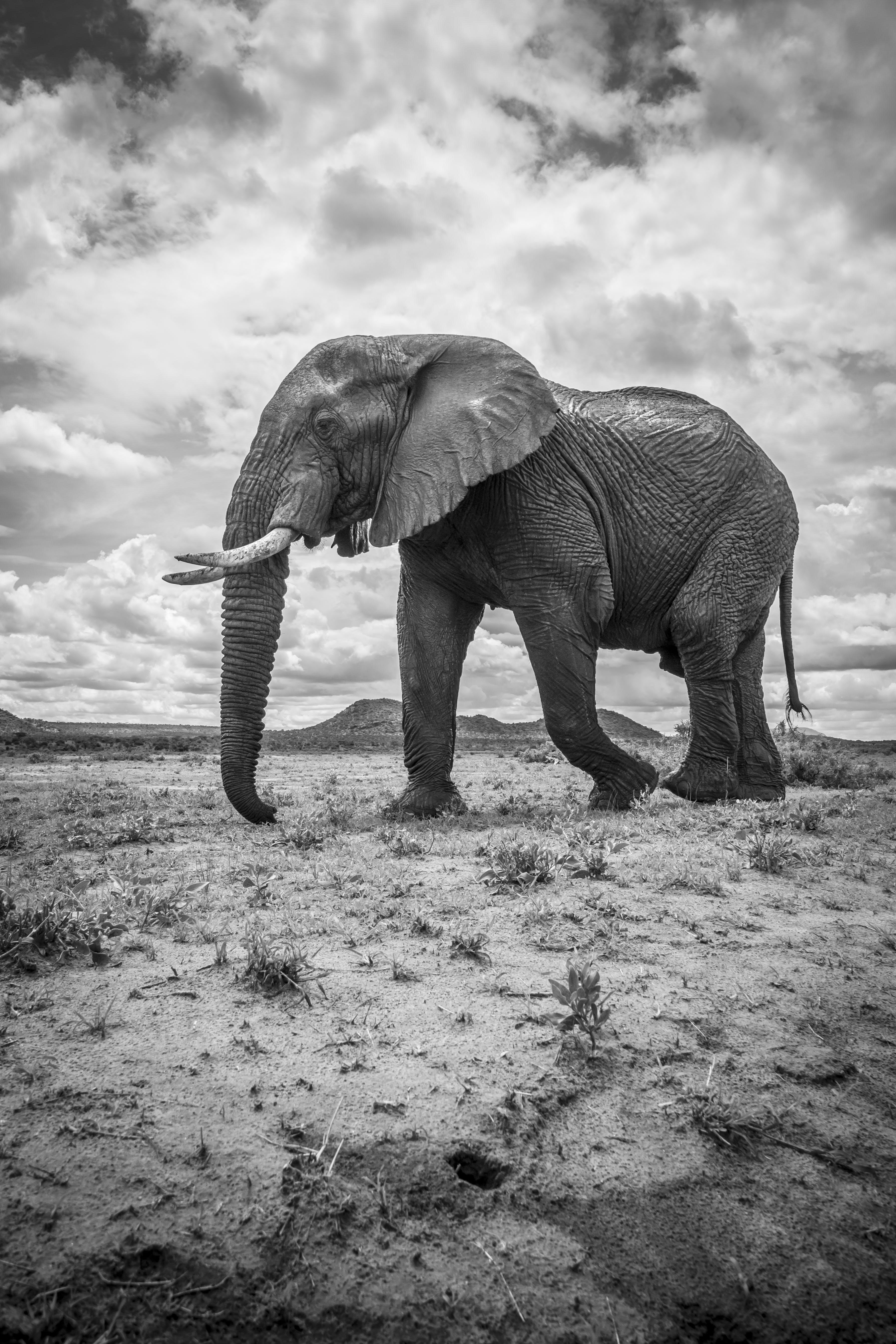 Monochrome Photography of Walking Elephant