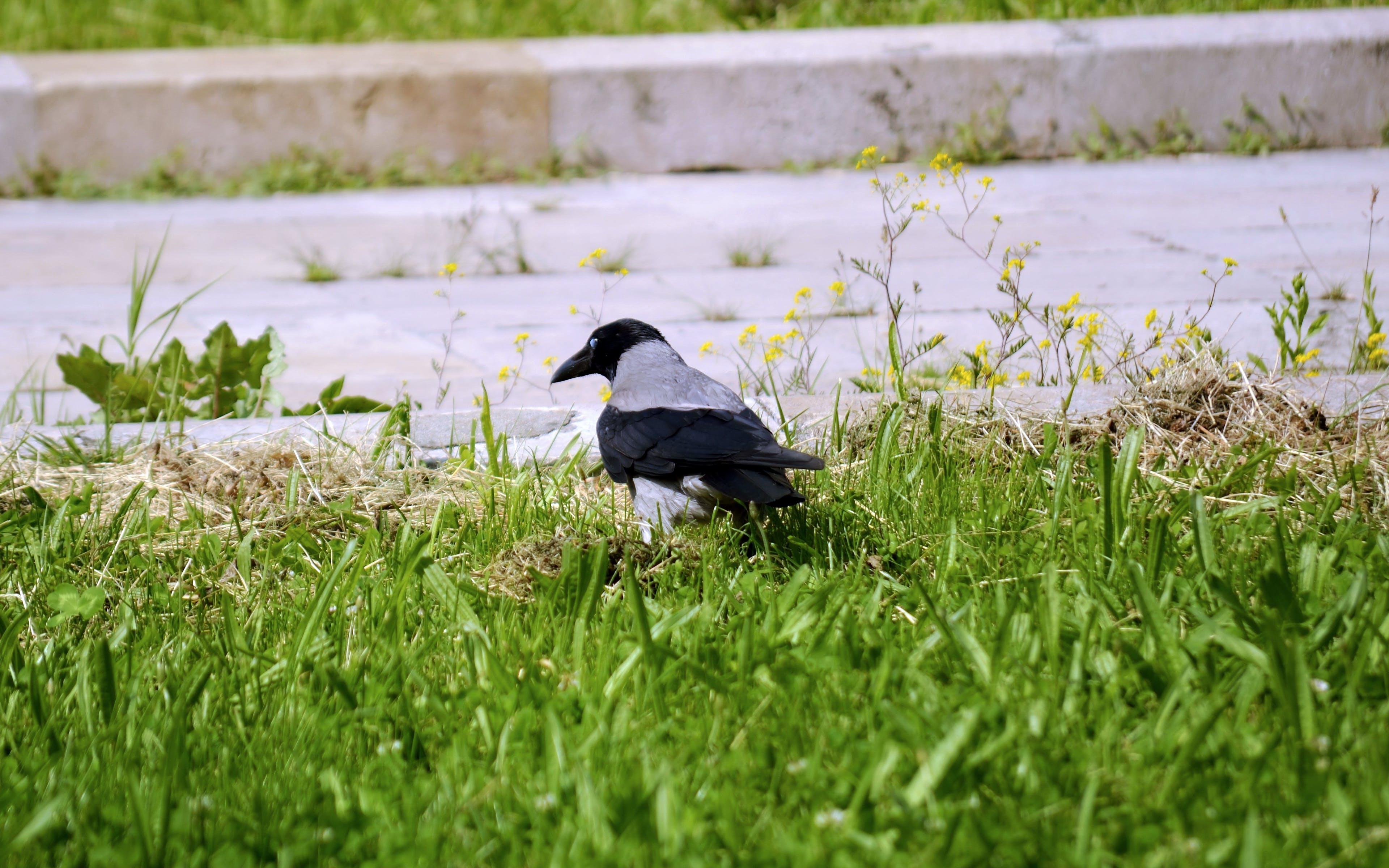 Free stock photo of crow, grass, nature, pavement