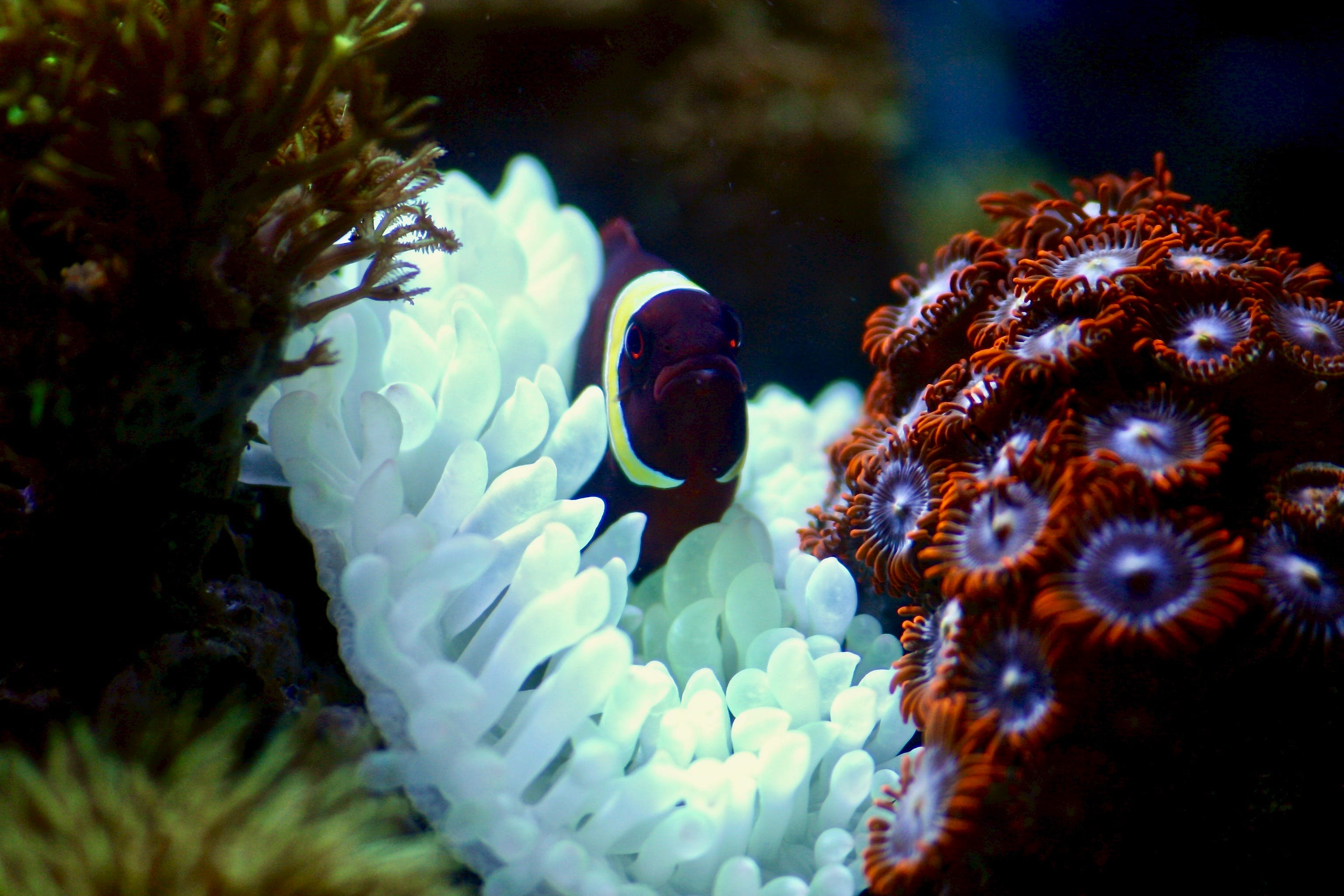Maroon Fish On Corals