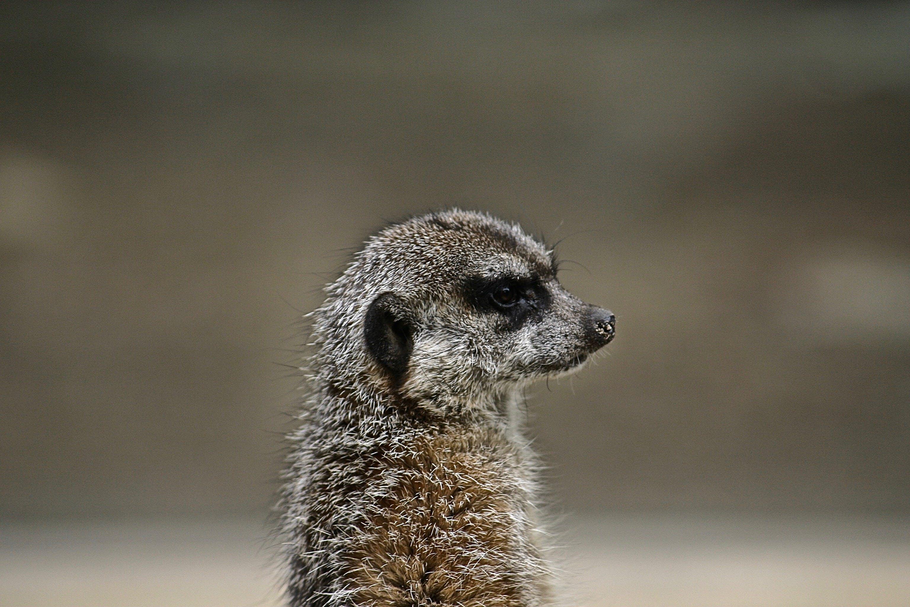 Základová fotografie zdarma na téma fotografování zvířat, makro, roztomilý, surikata