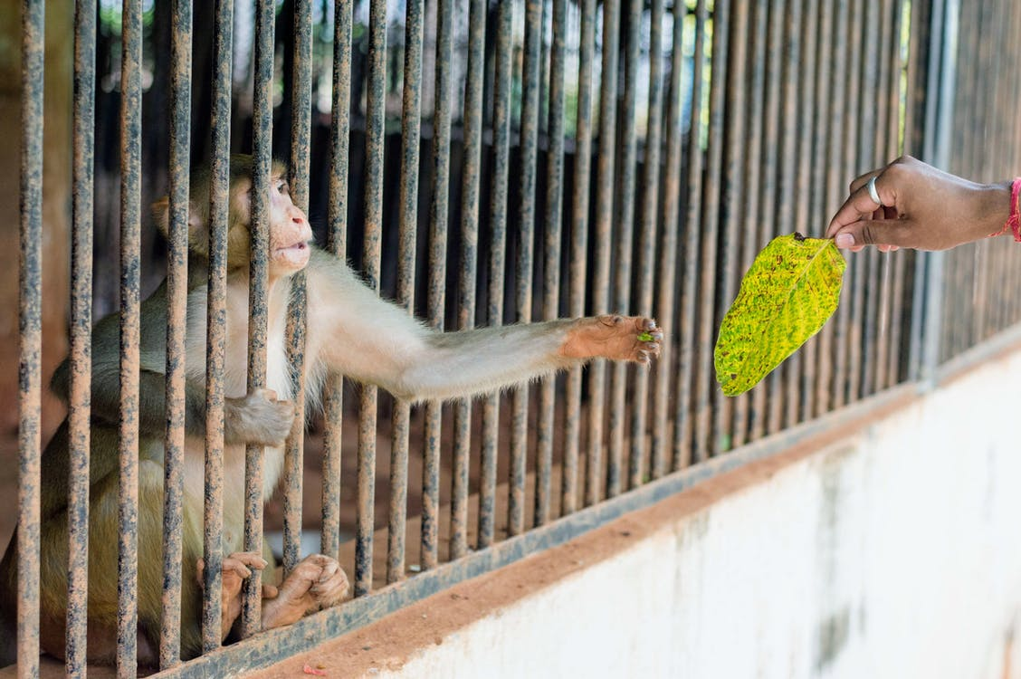 Person Giving Green Leaf on the Monkey in the Cage