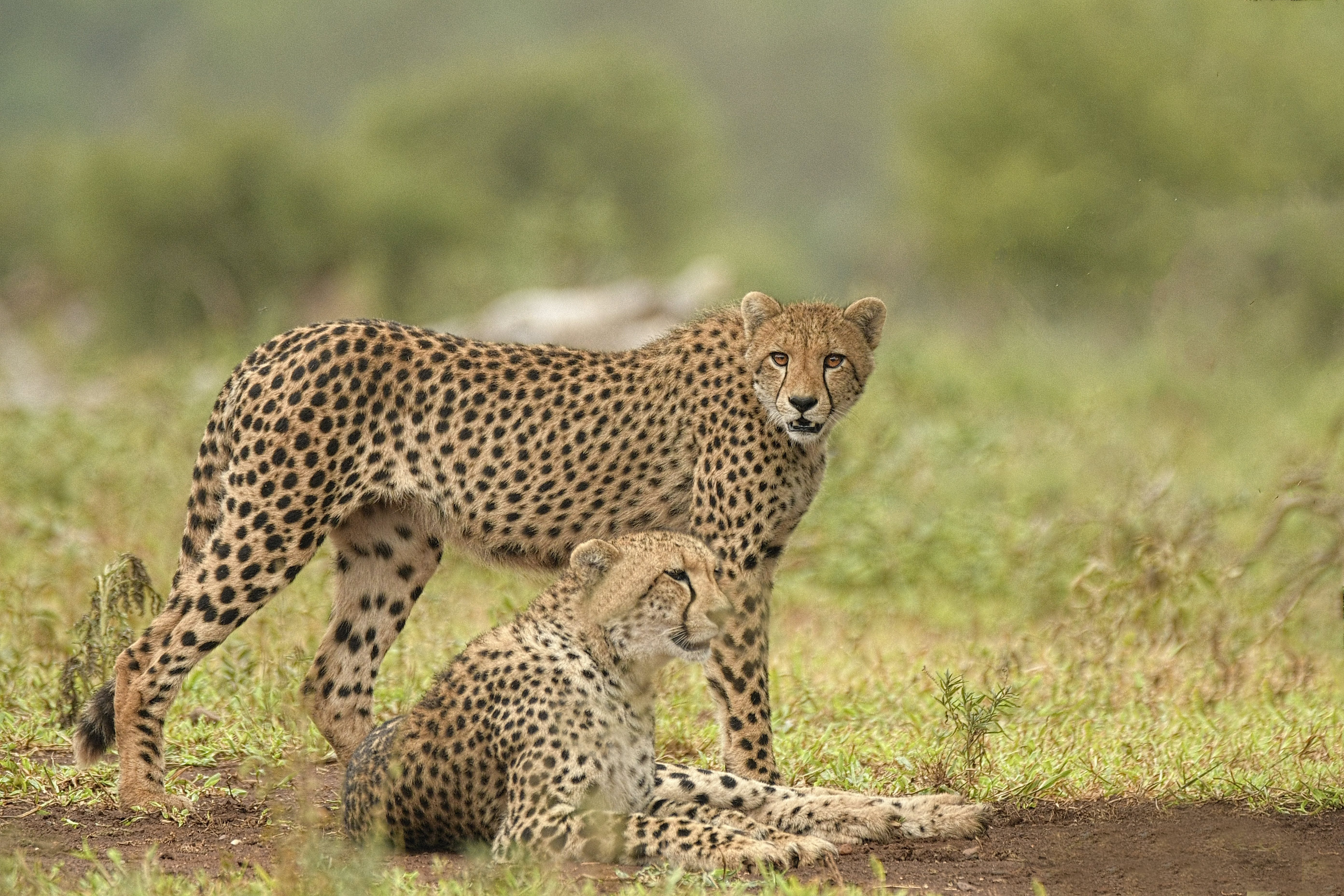 Brown Cheetah