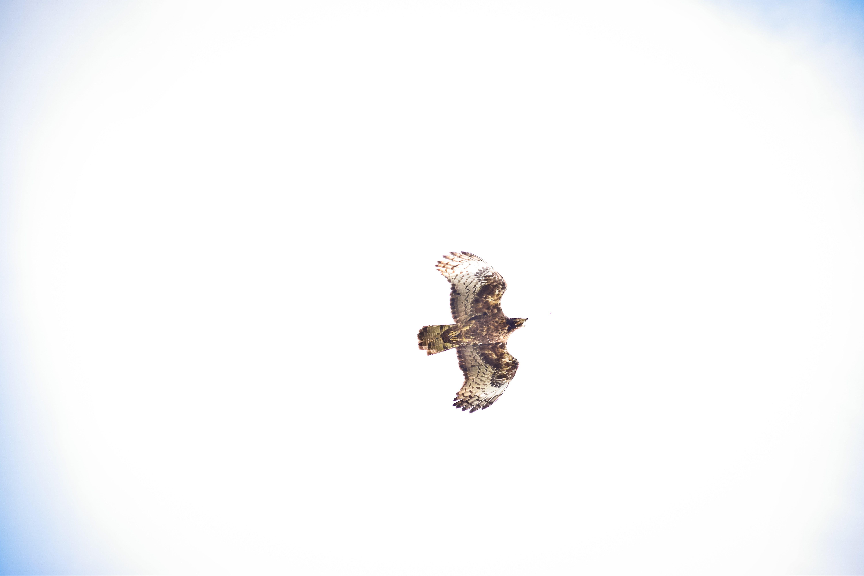 Photos gratuites de aigle, vie dans la nature