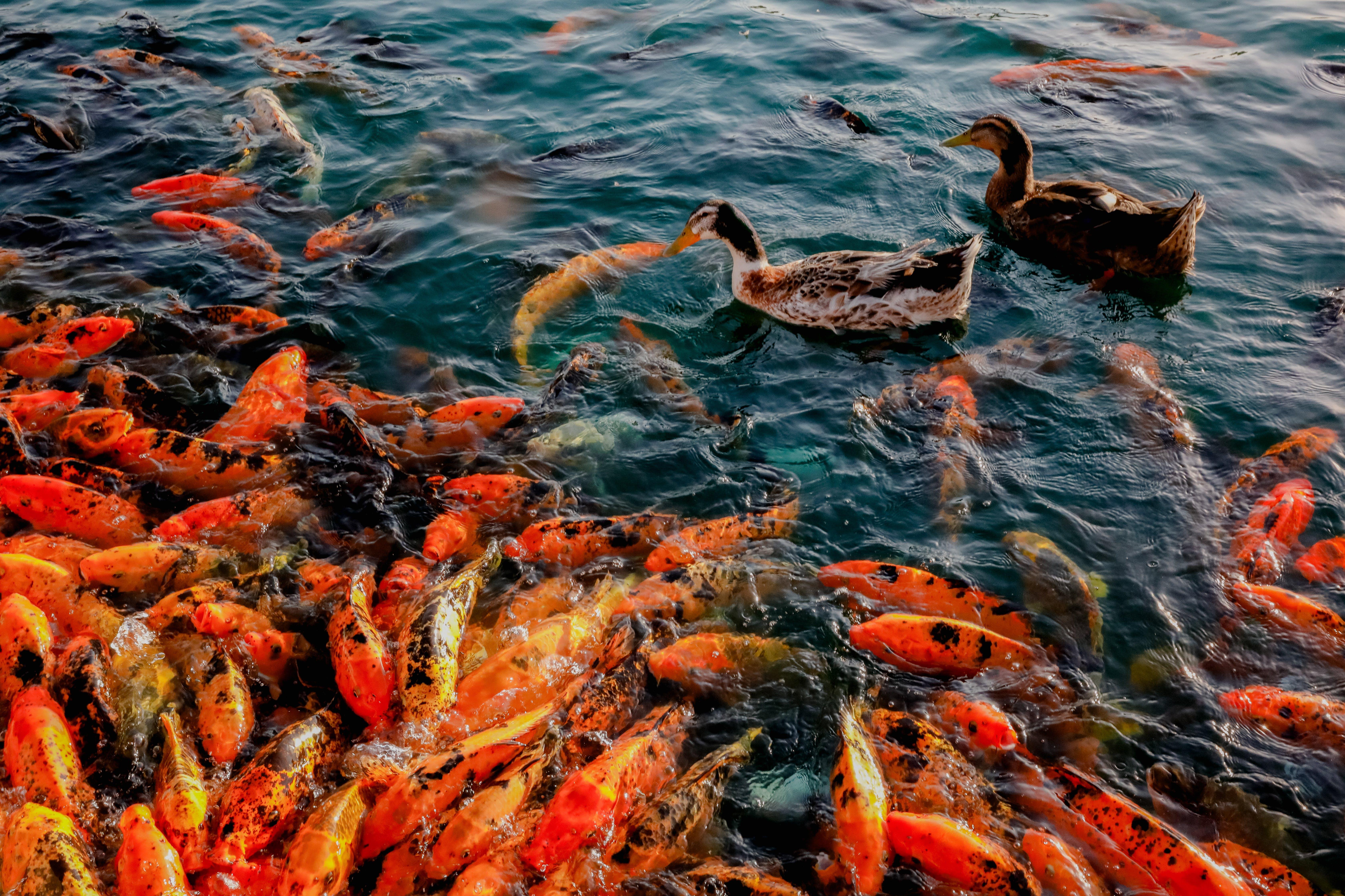 Gratis lagerfoto af appelsin, dam, dyr, farve