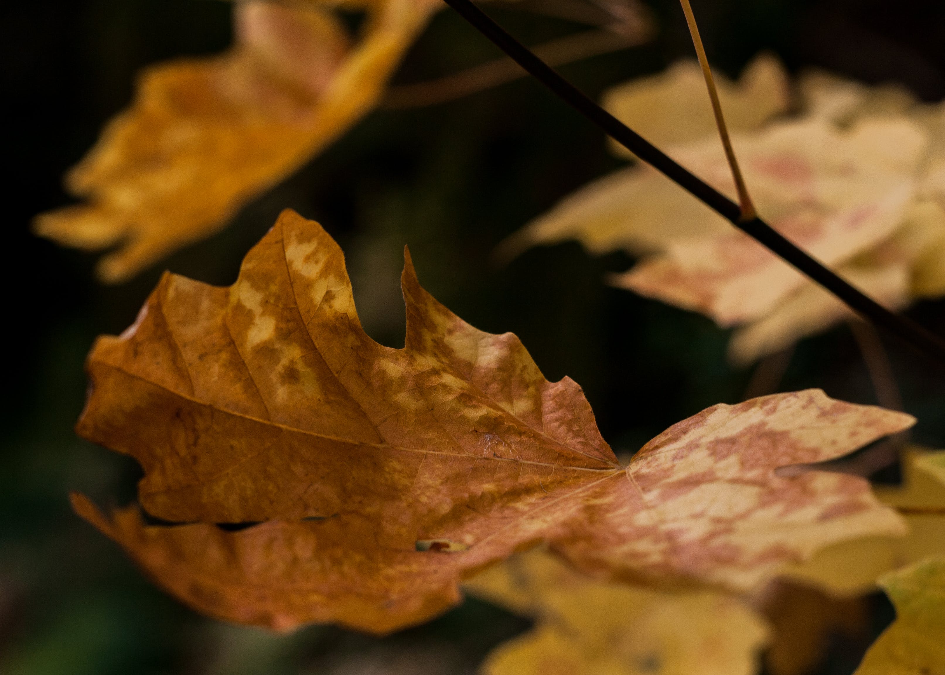 Free stock photo of crispy leaves, fall time, orange
