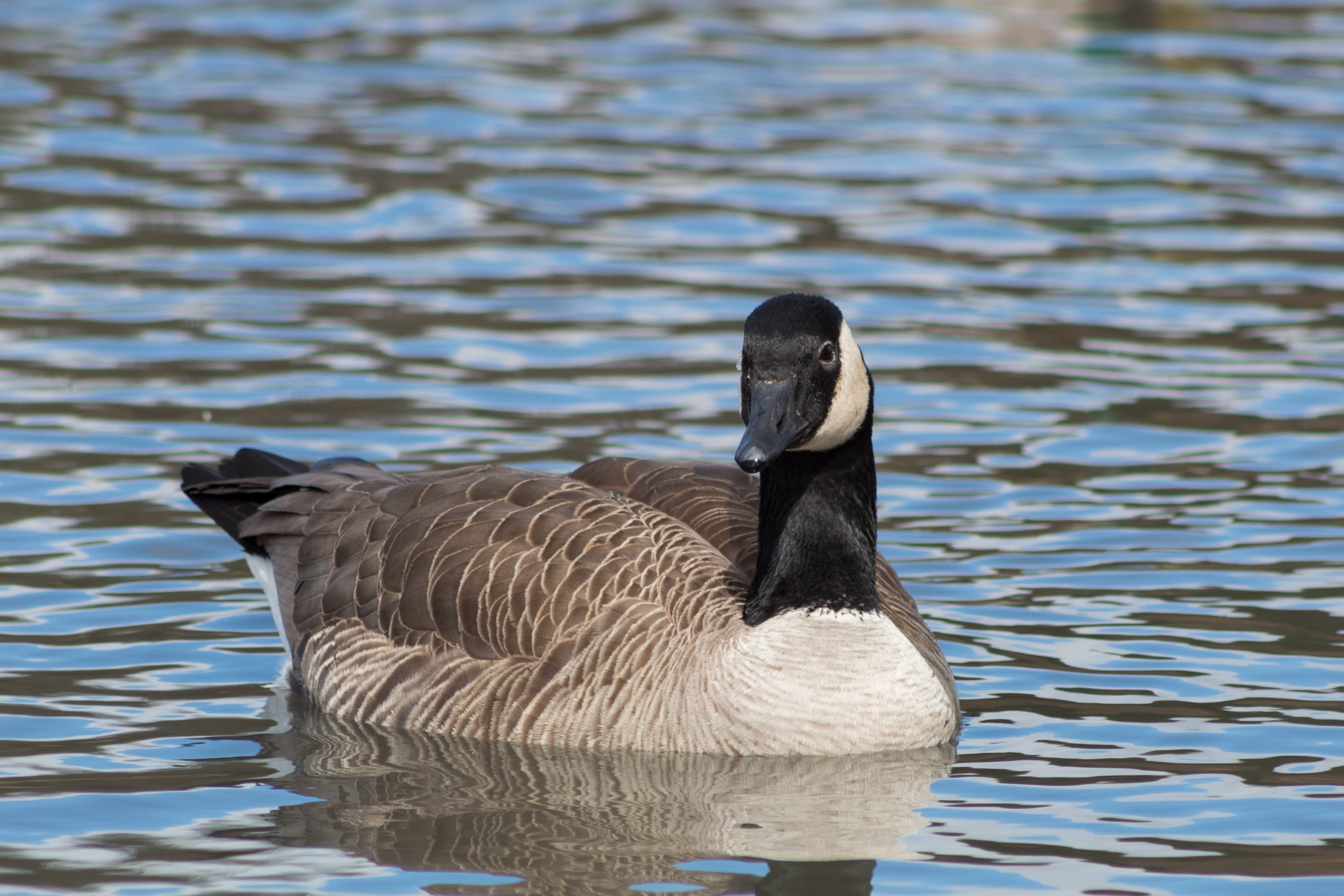 Free stock photo of aquatic bird, cackling goose, geese, goose