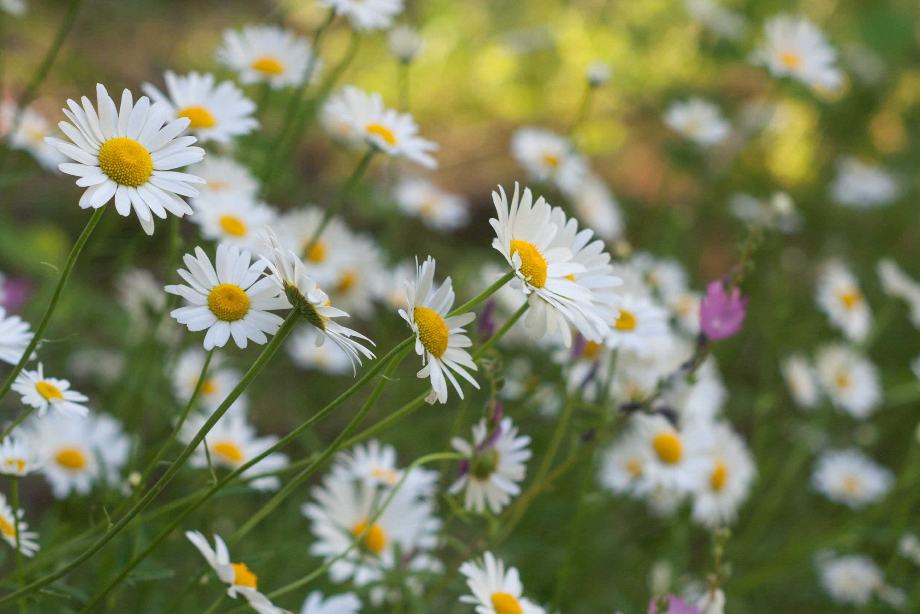 Free stock photo of daisies, daisy, early summer, field of flowers