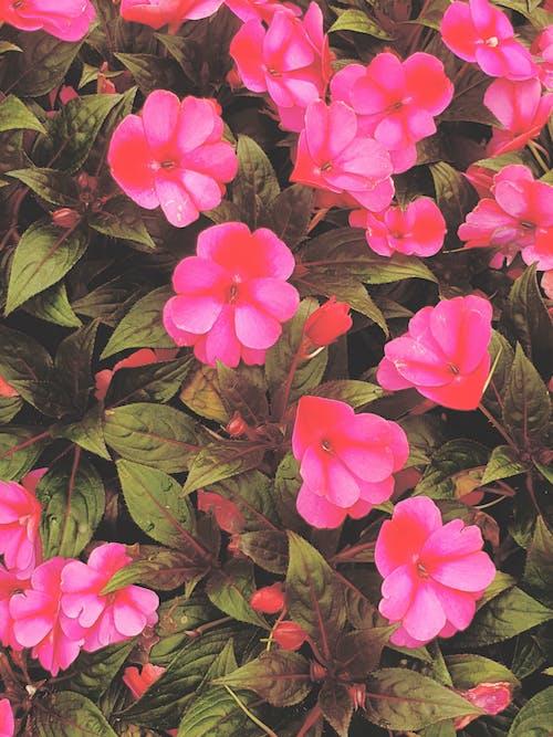 Безкоштовне стокове фото на тему «кластер, красиві квіти, природи фону, рожеві квіти»
