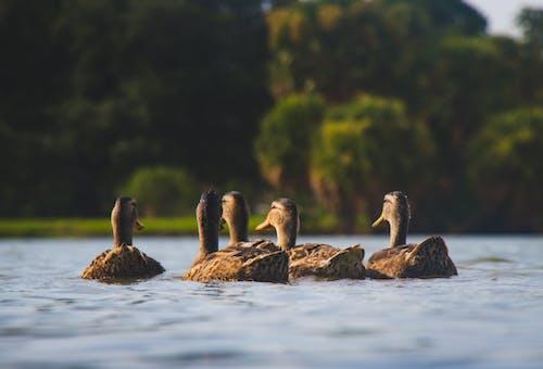 Immagine gratuita di anatre, animali, fauna selvatica, laghetto