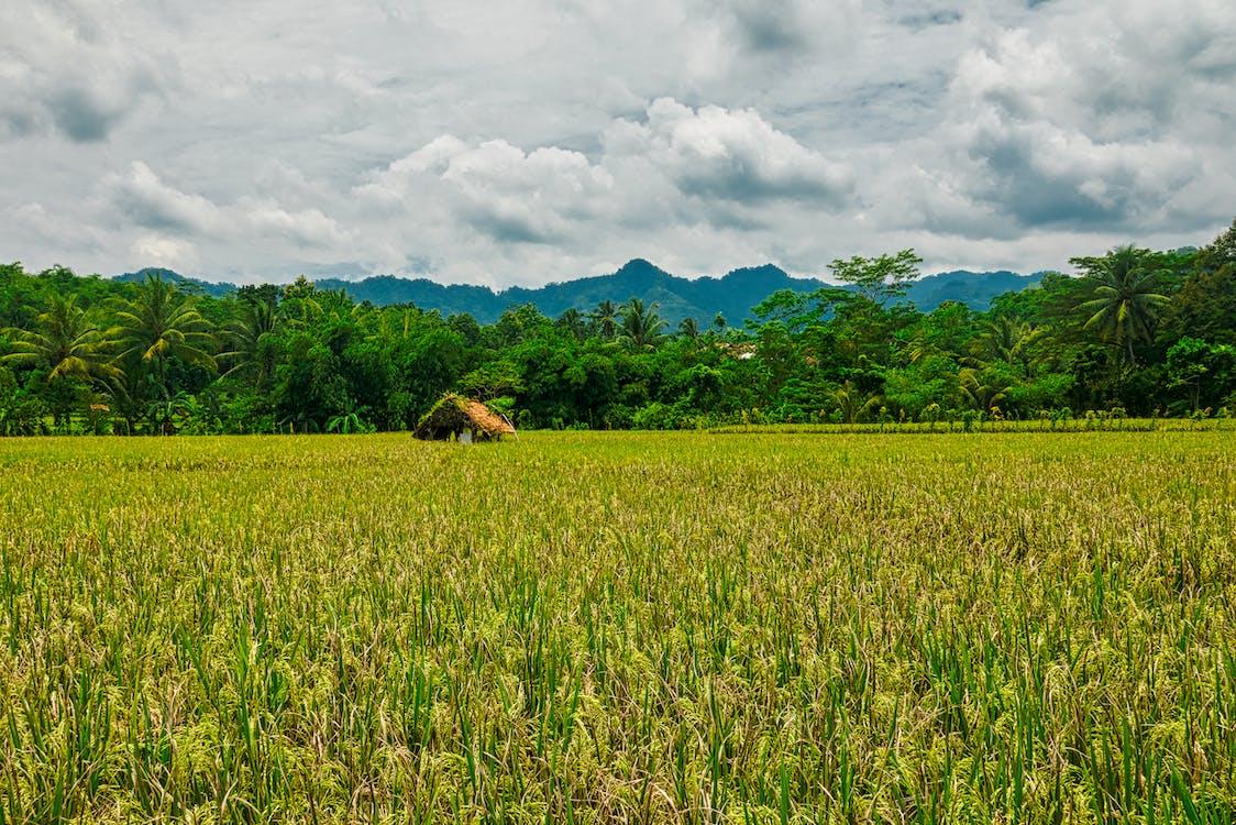 indonesia, kenttä, maatila