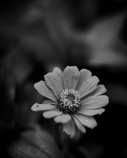 Kostenloses Stock Foto zu blume, bw, schwarz und weiß