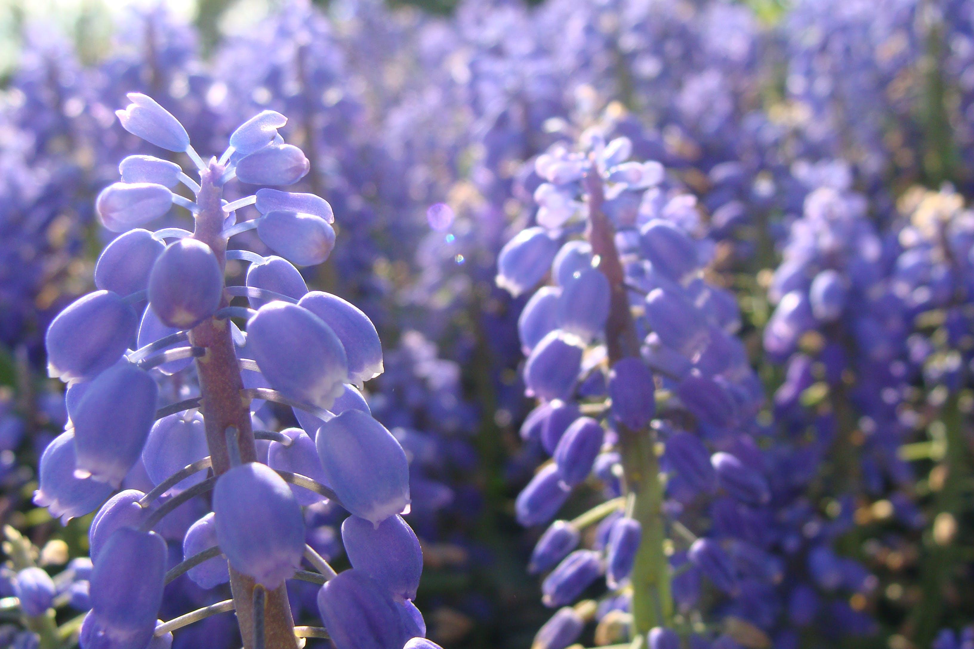 Free stock photo of blue, flowers, purple, spring