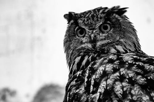 Close-up Photo of Owl in Grayscale