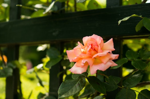 Free stock photo of flower, fence, pink, rose