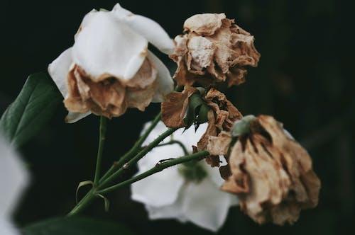 乾枯, 特寫, 花 的 免費圖庫相片