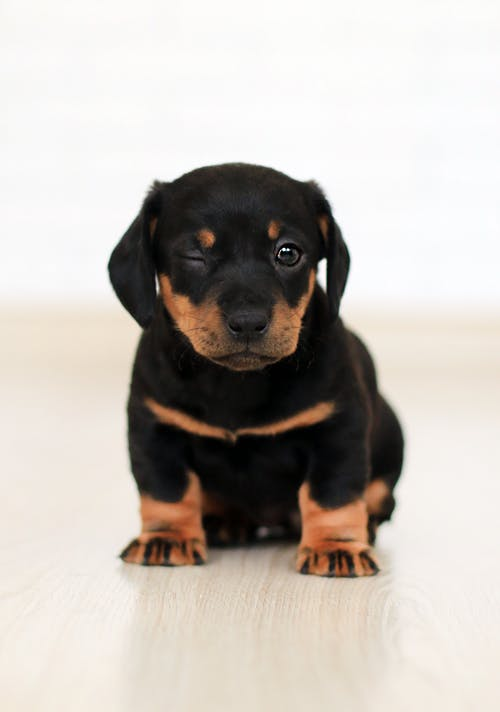 Winking Black And Brown Puppy