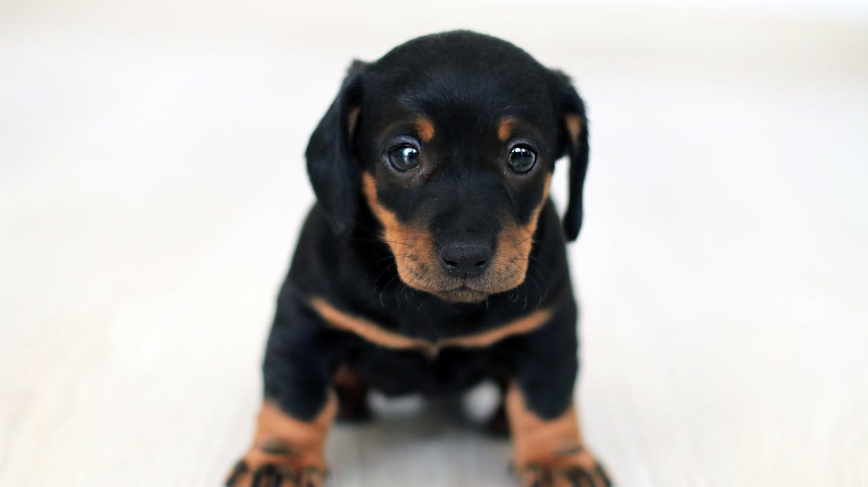 Close-up Photography Of Black And Tan Puppy