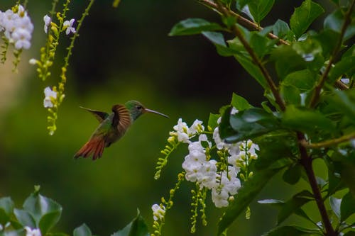 Foto d'estoc gratuïta de animal salvatge, colibrí, natura