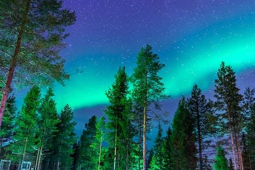 Pine Trees Under Aurora Borealis