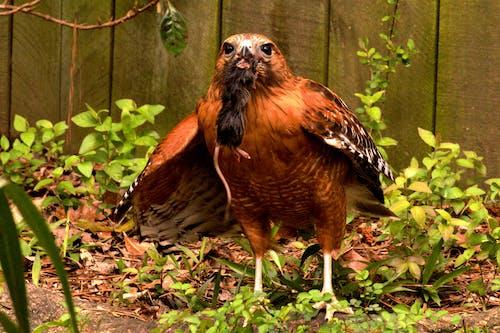 Free stock photo of animal, bird of prey, hawk