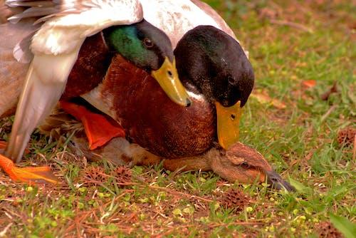Free stock photo of mallard, nature, wildlife