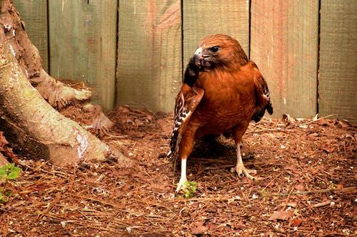 Free stock photo of animals, bird of prey, hawk