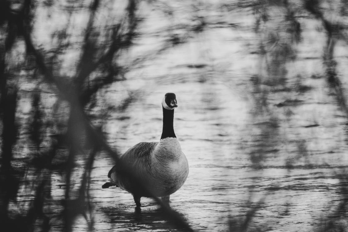 Grayscale Photography Of Duck On Water