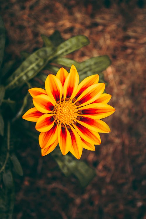 คลังภาพถ่ายฟรี ของ ความสงบ, ดอกส้ม, ดอกไม้กาซาเนีย, ดอกไม้สวย