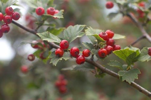 Gratis lagerfoto af bær, dag, gren, natur