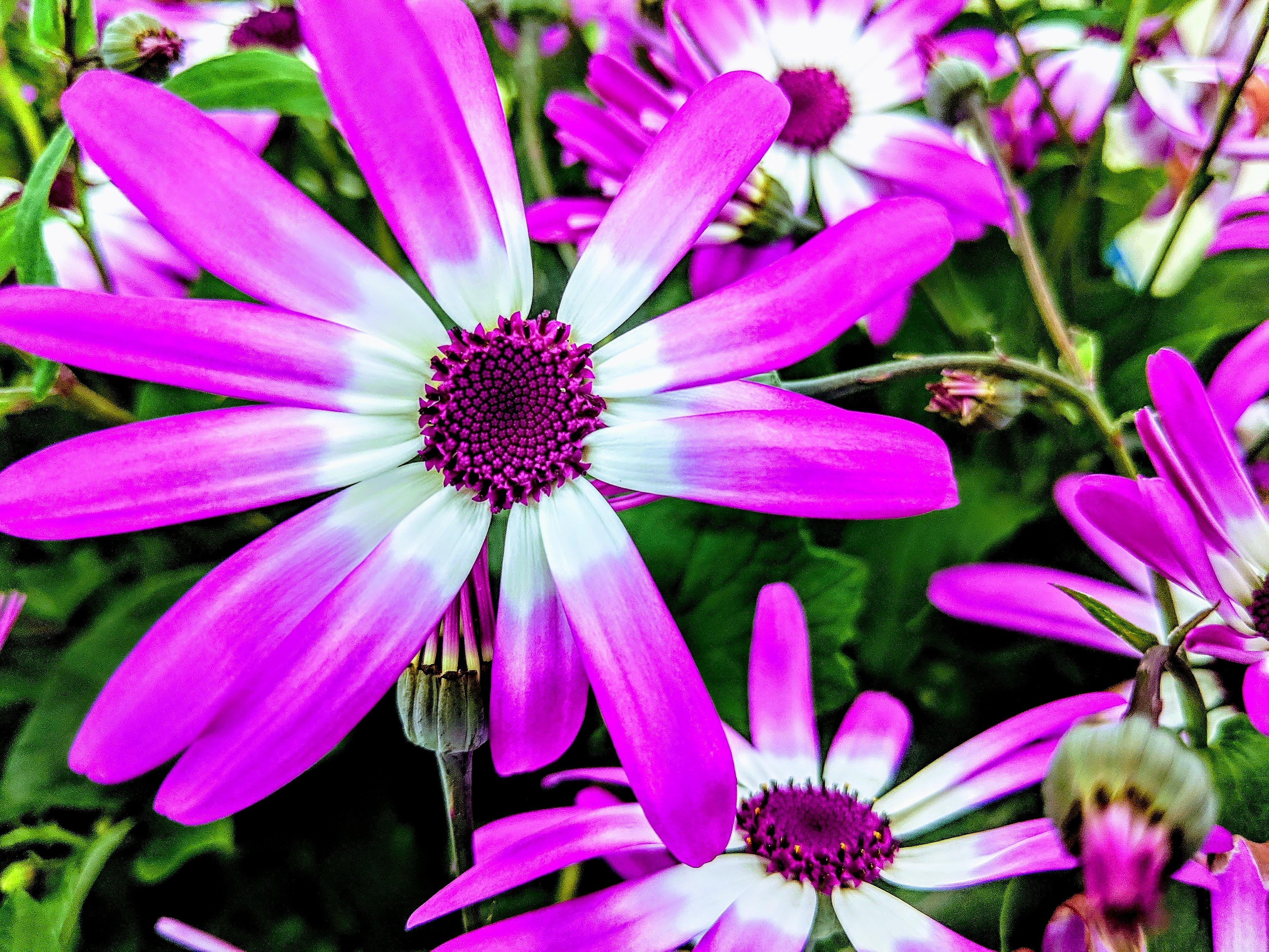 Ingyenes stockfotó lila fehér virágok, lila őszirózsák, lila virágok, őszirózsák témában