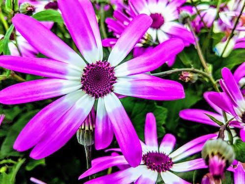 Photos gratuites de asters, asters violets, fleurs violettes
