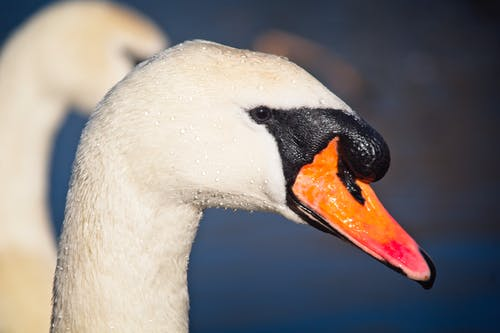 Foto stok gratis #swan #bird #nature #wildlife #spring