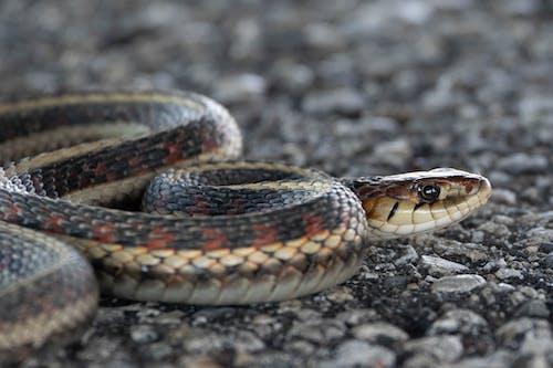 Free stock photo of close up, snake