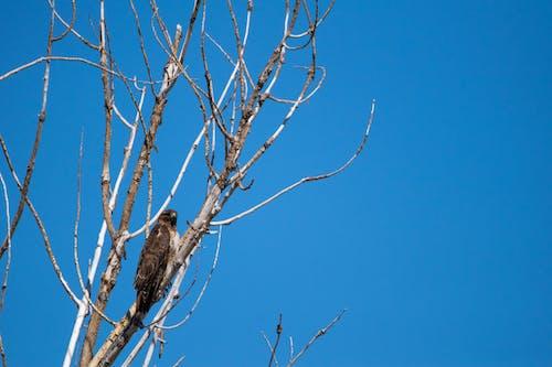 Free stock photo of eagle, golden eagle, raptor, tree