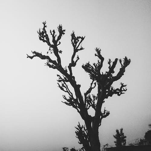 Základová fotografie zdarma na téma černobílá, jeden kopec stromu, jediný strom, starý strom