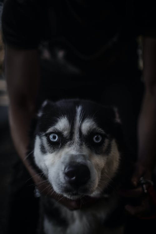 Immagine gratuita di #huskey, #photography