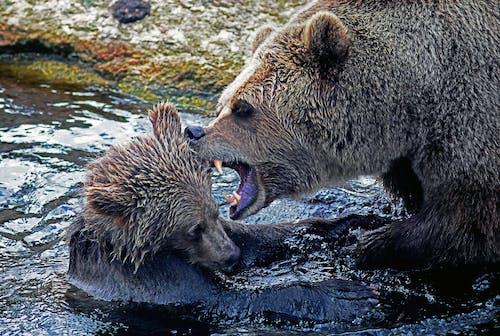 Immagine gratuita di acqua, animale, landa selvaggia, orso