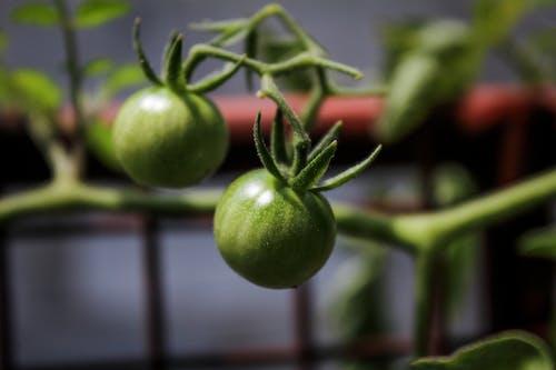 Gratis lagerfoto af tomat