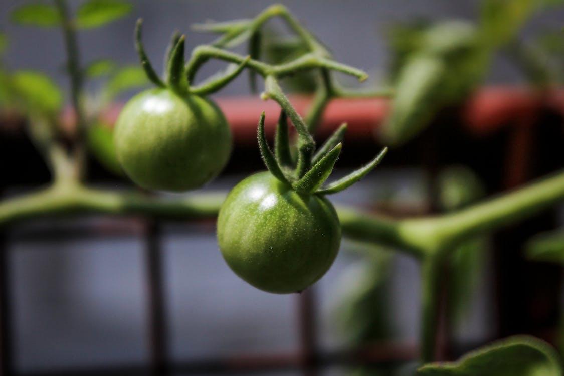 Foto stok gratis tomat