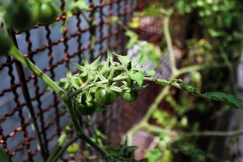 Fotos de stock gratuitas de tomate