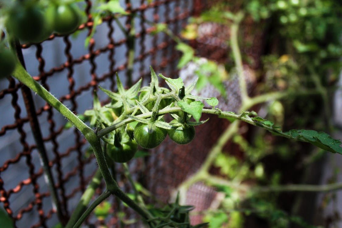 Foto profissional grátis de tomate
