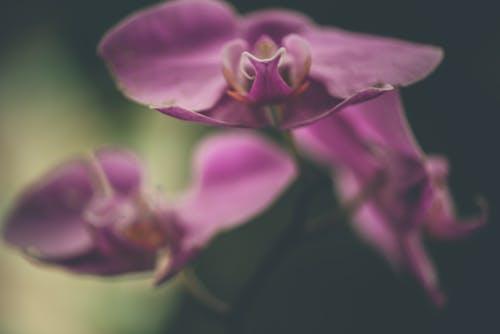 Gratis stockfoto met orchidee