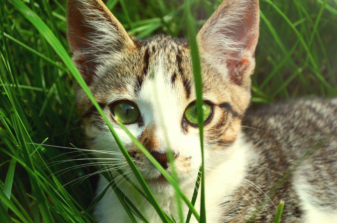 Gratis lagerfoto af dyr, græs, grønne øjne