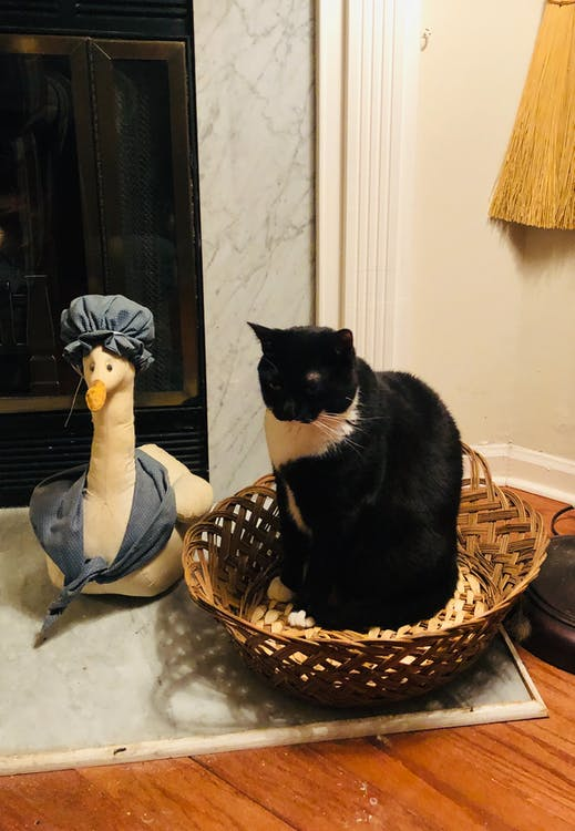 Free stock photo of Cat and goose, Cat in a basket, tuxedo cat