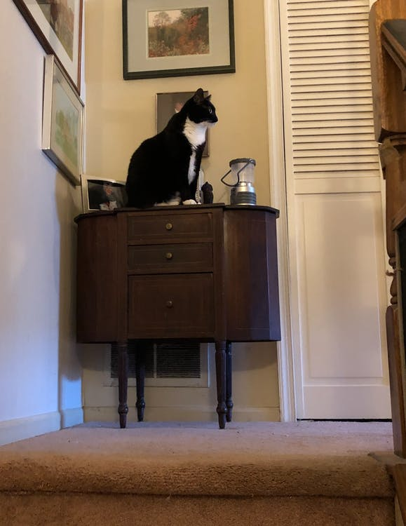 Free stock photo of black cat, cat, tuxedo cat