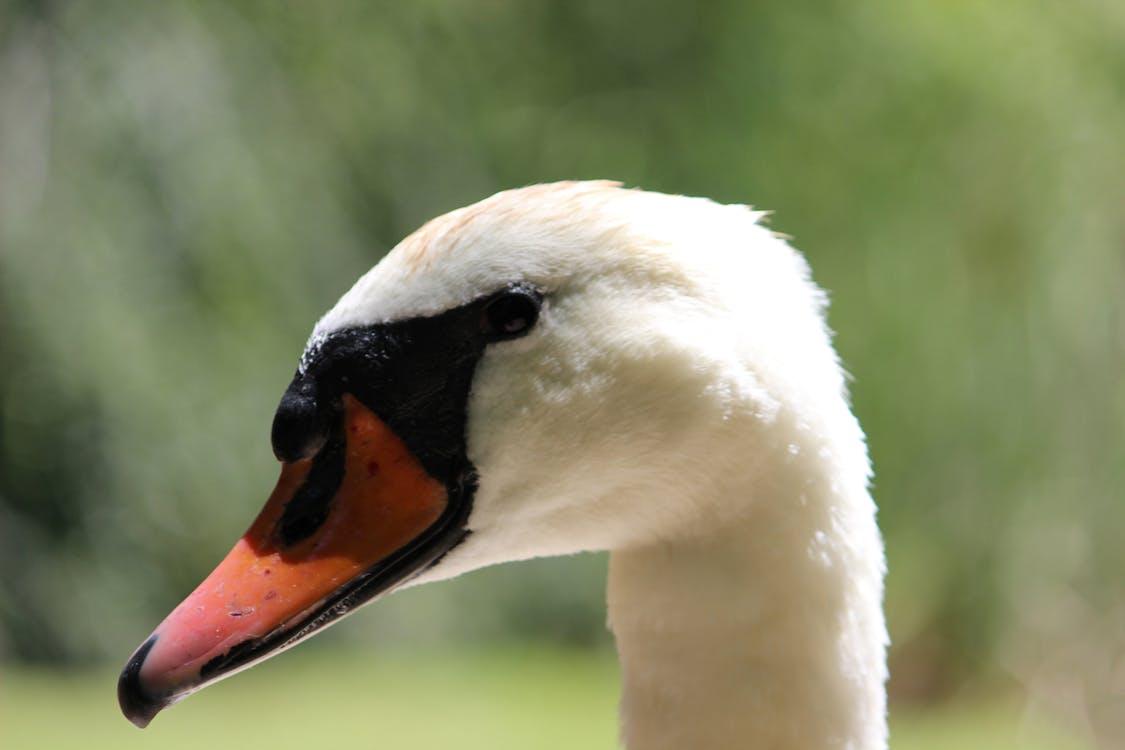 bílá labuť, obrázek na pozadí, pírko