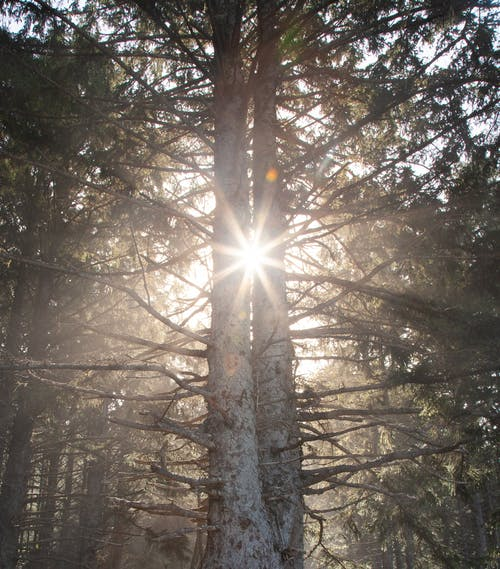 Photo of Sunrays Between Tall Trees