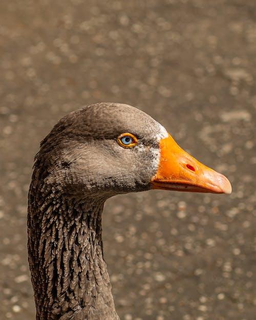 Close Upfoto Van Eend