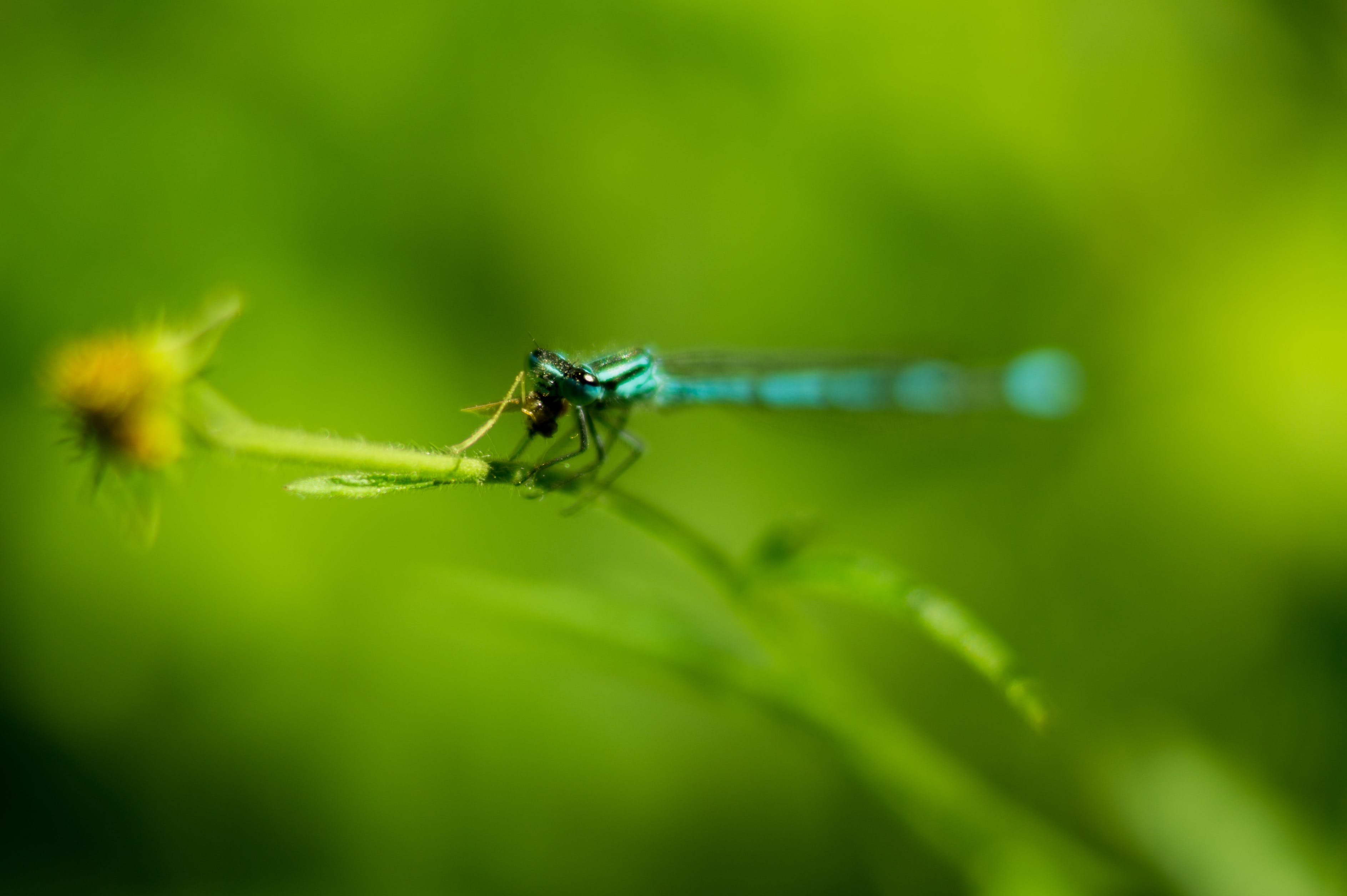 Selective Focus Photography of Blue Damselfly on Plant Stem